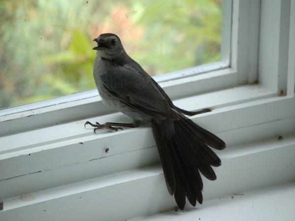 Chim bay vào nhà và cách hóa giải